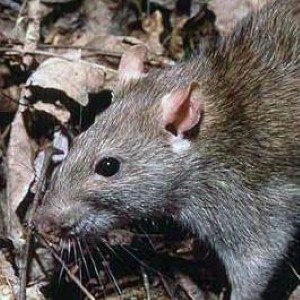 Rats are a hazard for many homes and businesses